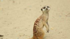 Meerkat смотря вне видеоматериал