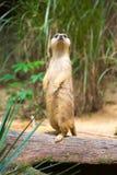 Meerkat стоя на ветви защищая свою территорию Стоковое Изображение RF
