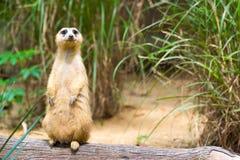 Meerkat стоя на ветви защищая свою территорию Стоковые Изображения