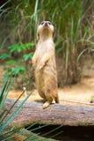 Meerkat стоя на ветви защищая свою территорию Стоковое Фото