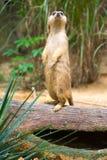 Meerkat стоя на ветви защищая свою территорию Стоковые Фото