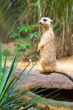 Meerkat стоя на ветви защищая свою территорию Стоковая Фотография