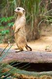 Meerkat стоя на ветви защищая свою территорию Стоковые Фотографии RF