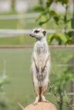 Meerkat стоя на камне Стоковая Фотография