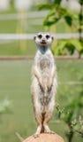 Meerkat стоя на камне Стоковые Фотографии RF