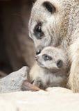 Meerkat с детенышами Стоковое Изображение RF