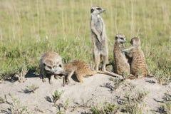 Meerkat с новичками Стоковая Фотография