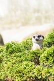 Meerkat с смешным выражением смотрит из зеленой травы Голова meerkat вставляя из травы Стоковая Фотография RF