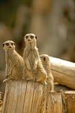 Meerkat (海岛猫鼬类海岛猫鼬类) 10 免版税库存图片