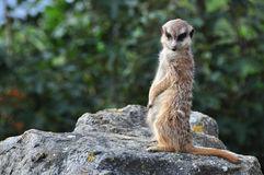 Meerkat (海岛猫鼬类) 库存图片