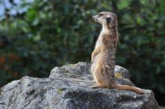 Meerkat (海岛猫鼬类) 免版税库存照片