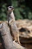 Meerkat (海岛猫鼬类suricatta),亦称suricate 库存照片