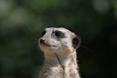 Meerkat (海岛猫鼬类suricatta),亦称suricate 免版税库存图片