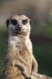 Meerkat (海岛猫鼬类suricatta) 免版税库存照片
