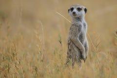 Meerkat (海岛猫鼬类suricatta) 免版税库存图片