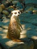 Meerkat (海岛猫鼬类suricatta iona) 库存照片