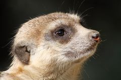 Meerkat 01 Royalty Free Stock Images