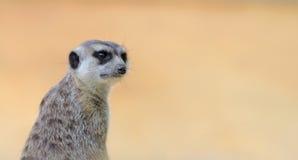 meerkat 02 Στοκ Εικόνες