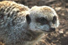 Meerkat 1 Royalty Free Stock Images