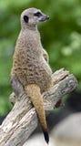 Meerkat 1 Fotografia de Stock
