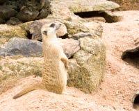 Meerkat.1 Fotografering för Bildbyråer