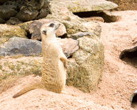 Meerkat.1 Στοκ Εικόνα