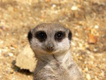 Meerkat. Face stock photo