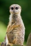 meerkat стоковые изображения