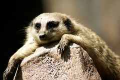 Meerkat. Lazily lying on a rock ,taking it easy enjoying a sunny day Stock Photography