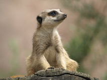 Meerkat. Sitting on a wooden branch Stock Photos