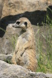 Meerkat Royalty Free Stock Images