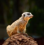Meerkat obraz stock