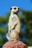 meerkat纵向 库存图片
