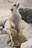 meerkat 库存图片