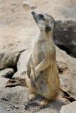 Meerkat Lizenzfreie Stockbilder