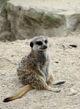 meerkat Obrazy Royalty Free