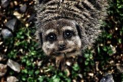 Meerkat Immagine Stock Libera da Diritti
