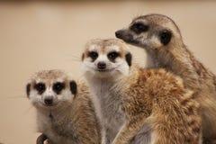 Meerkat Stockfoto