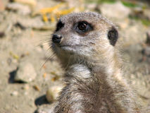 Meerkat. Male grey meerkat (Suricata suricatta) watching enemies-portrait Stock Image