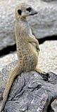 Meerkat 12   Stock Image