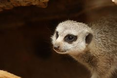 Meerkat. Coming out of a cave Royalty Free Stock Photos