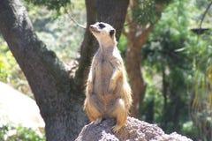 meerkat Fotografia Royalty Free