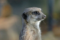 The meerkat. This meerkat was in a territory in a zoo. He watched her landscape royalty free stock images