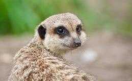 Meerkat Immagini Stock