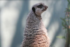 meerkat Στοκ εικόνες με δικαίωμα ελεύθερης χρήσης