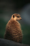 Meerkat. The meerkat or suricate is an member of the mongoose family,it hunts in family packs and uses scouts to survey the territory for intruders and danger Stock Photo