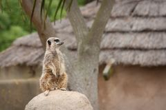 Meerkat stock afbeelding