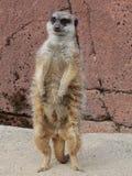 Meerkat στοκ φωτογραφία