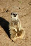 Meerkat Photo libre de droits