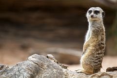 Meerkat Standing and Watching Royalty Free Stock Photo